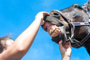 Почему у молодых лошадей нет передних зубов