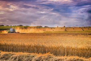 Производство пшеницы останется устойчивым, а запасы в сезоне 2020-2021 годов могут еще вырасти