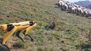 Робот Spot пасет овец