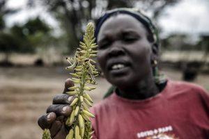 Женщина-фермер осматривает пустынную саранчу