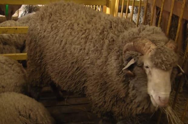 Сальская порода овец