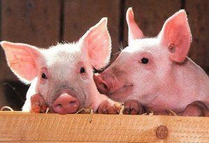 Сахар продлевает жизнь сперматозоидов в репродуктивной системе свиней