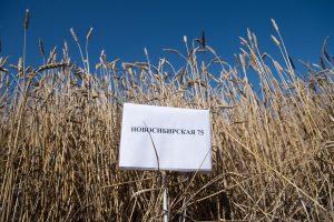 Сибирские ученые создали новые сорта полевых культур