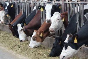 скрещенные породы коров