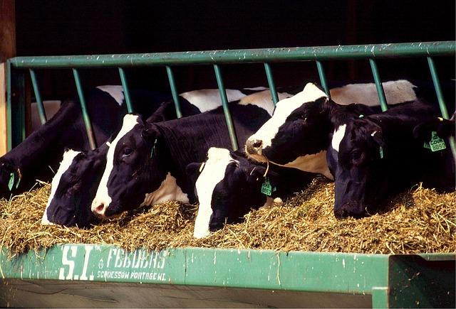 Соевые бобы с высоким содержанием олеиновой кислоты полезны для молочных коров