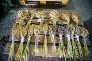 Новые сорта риса