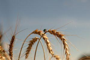 Технологи Башкирского ГАУ рекомендуют целебный продукт из пророщенного зерна