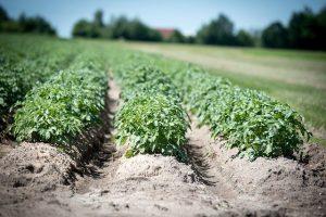 поля картофеля