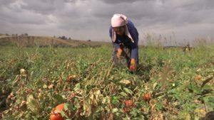 Тюлькубасские крестьяне собирают по два урожая с одного поля