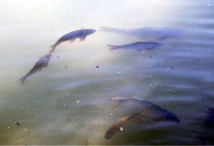производство товарной рыбы