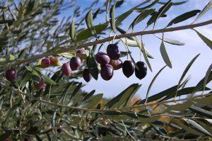 Узбекистан видит потенциал в развитии оливковой отрасли