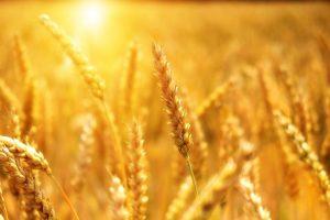 термостойкая пшеница