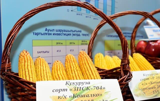 Урожай кукурузы в Алматинской области
