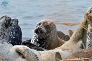 Каспийский тюлень