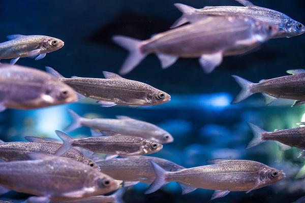 Ученые рассказали о садковом методе выращивания товарной рыбы