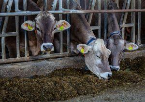 ФГБУ ЦНМВЛ готовит к выпуску научный труд - монографию по кормлению крупного рогатого скота