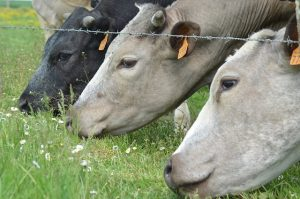 коровы питание