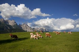 Экологически чистые коровы будут выделяют меньше метана