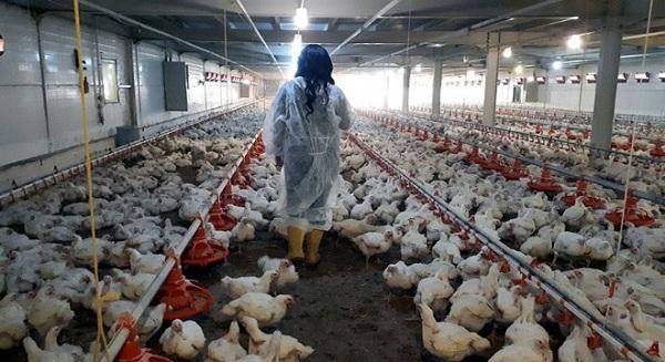 Эпизоотическая ситуация по птичьему гриппу в Жамбылской области стабильна