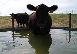 вода для коров: качество и чистота