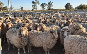 влияние стрижки овец на качество шерсти