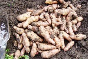 дикий картофель