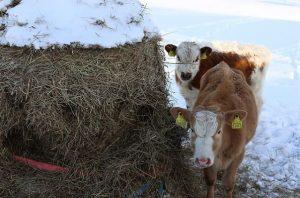 кормление коров зимой