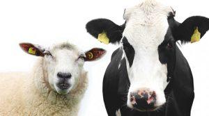 корова и овца, животноводство