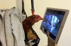 курица с ноутбуком