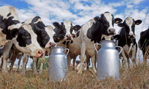 молоко, коровы