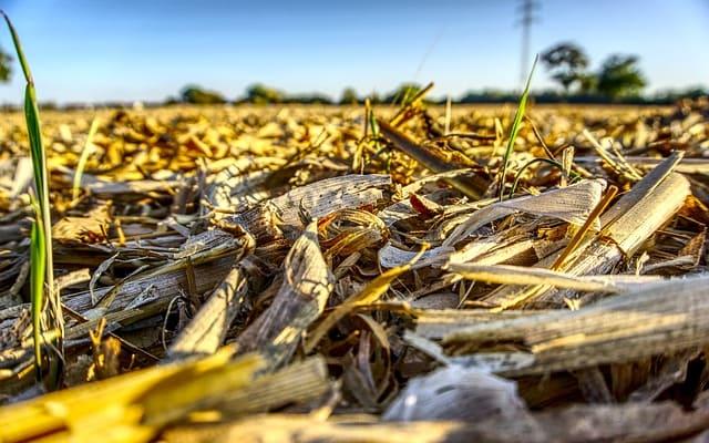 пожнивные остатки кукурузы на поле