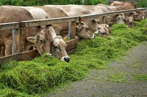 рацион коров