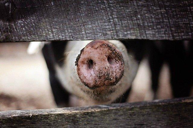 пятачок свиньи