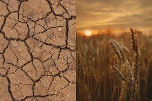 страхование посевов от засухи