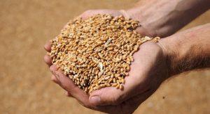 высококачественные семена