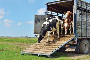 Минсельхоз закрыл экспорт живого скота