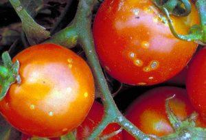 Болезни томатов ученые изучают бактериальный рак томатов