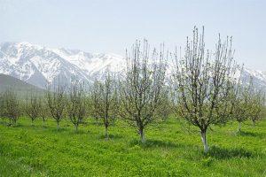 В Туркестанской области увеличивают площадь яблоневых садов