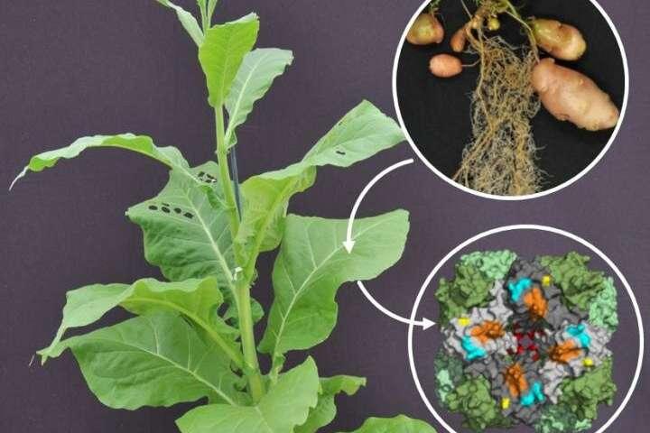 Используя подход хлоропласта SynBio, исследователи расшифровали, как небольшая субъединица влияет на катализ картофеля Rubisco