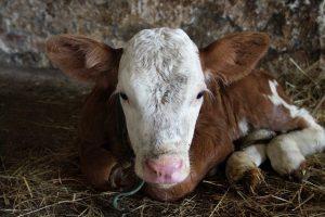 Криптоспоридиоз у телят увеличивает потери фермеров