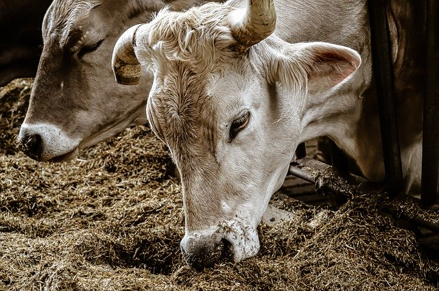 коровы кишечный микробиом