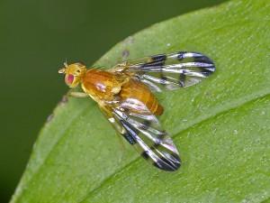 плодовая муха пестрокрылка