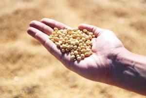Спрос на семена масличных культур в Китае будет расти