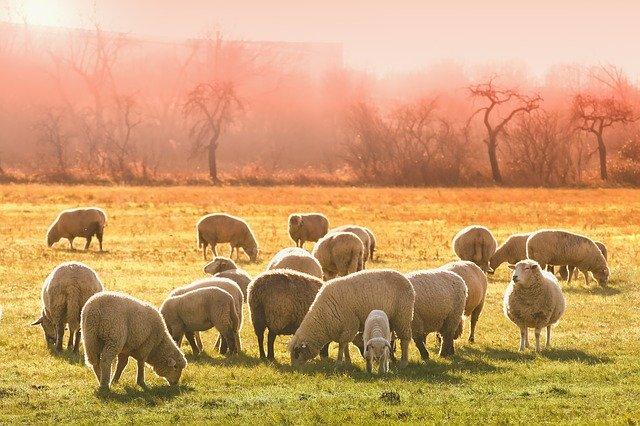 Усилия по борьбе с болезнями домашнего скота PPRV должны быть направлены на стиль управления стадом, а не на возраст
