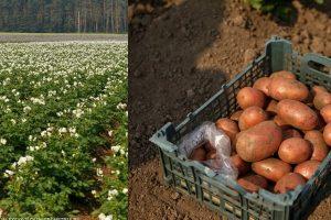 Ученые Урала вывели два уникальных сорта картофеля