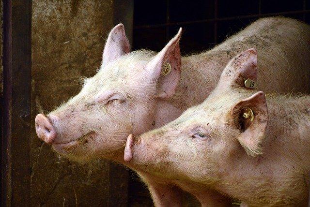 Ученые определили почему медь способствует росту свиней