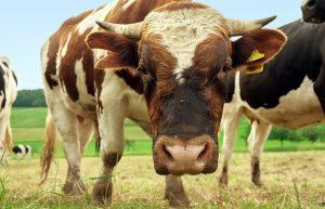 Кыргызстанские ученые запатентовали способ отбора молочных коров