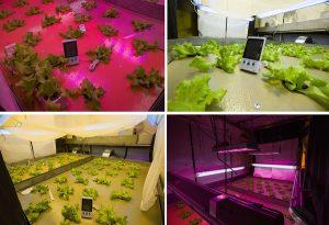 исследование по подбору оптимальных условий освещения для выращивания салата. Фото Вера Сальницкая