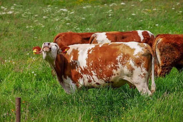 как коровы общаются в жизни