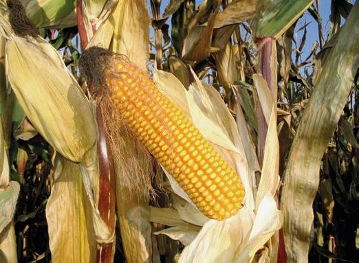 кукуруза в кормлении свиней